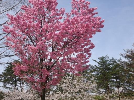 CB⑧八重桜.jpg